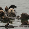 Raft of Sea Otters off California Coast