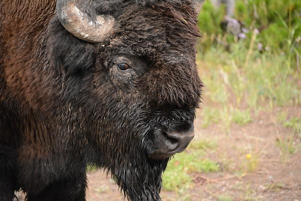 An older Bison