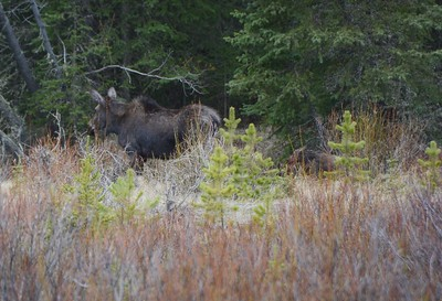 An Adult Female Moose.   On the right you can see her young baby