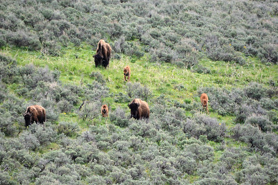 Herd of Bison and Calves heading to the valley floor.