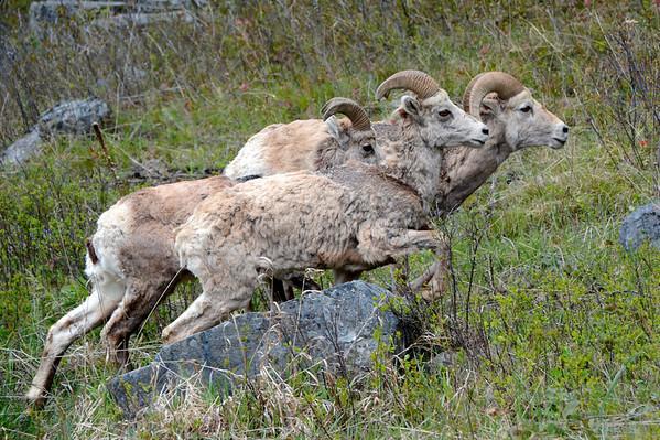 Three Big Horn Trotting up the hillside