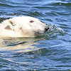Polar Bear swimming in the Hudson