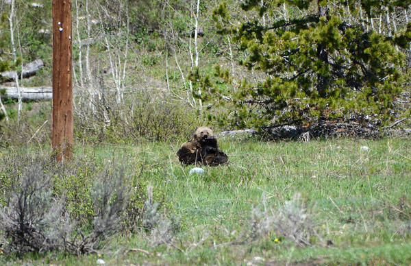 Grizzly cubs horsing around.