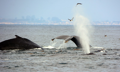 Three Humpback Whales and Sea Lions feeding on Anchovies