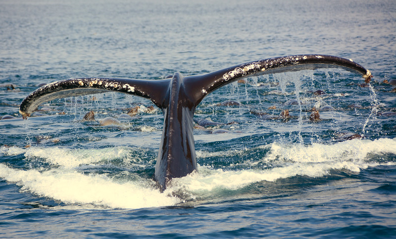 Humpback Whale Fluke with Sea Lions feeding on Anchoives