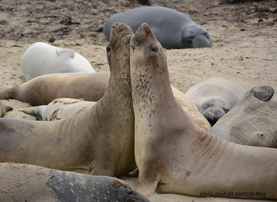 Two molting young male Elephant Seals testing each other