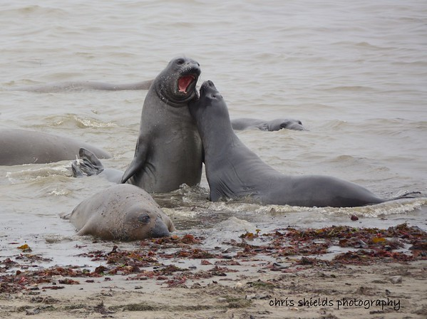 Young Male Elephant Seals horsing around in the shallow water