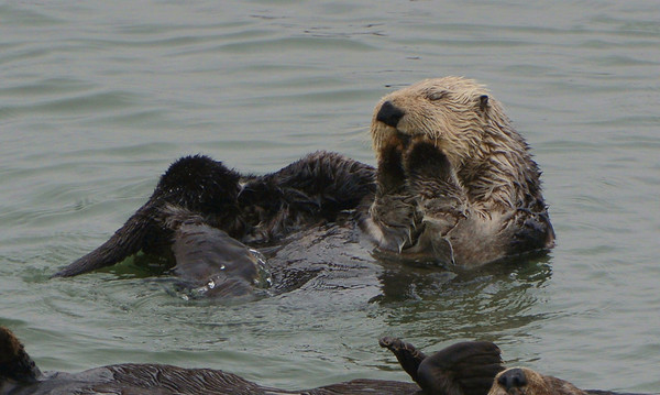 This looks so adorable (A male Sea Otter taking a little nap)