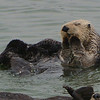 Sea Otters2 : Sea Otters along the California Coast