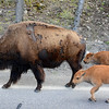 Traffic Jam!  Bison babbies on the road!