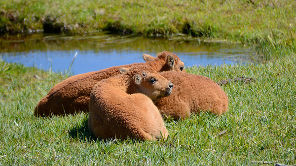 Three young Bison Calves resting with Moms nearby