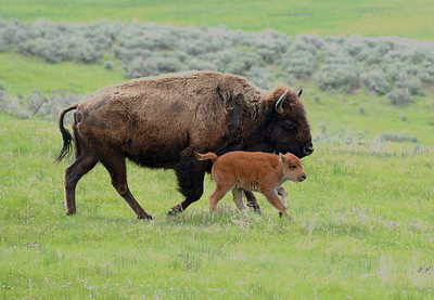Bison and Calf trotting along.