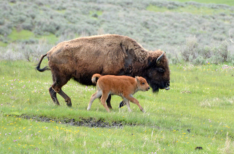 Notice the tongue hanging out of the Adult Bison's Mouth