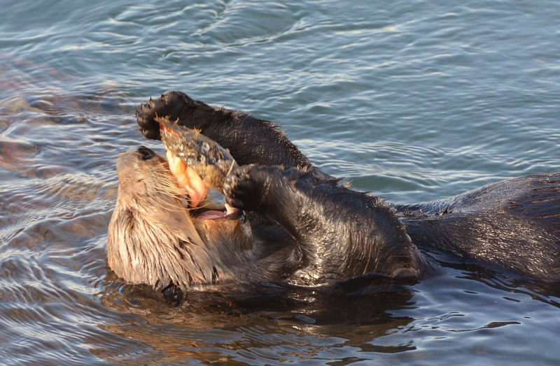 Sea Otter enjoying a meal