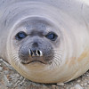 A very healthy Elephant Seal Weaner - Less than 4 months old