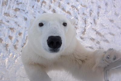 Hi !  A young curious Polar Bear Cub
