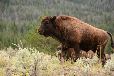 Young Bison Calf