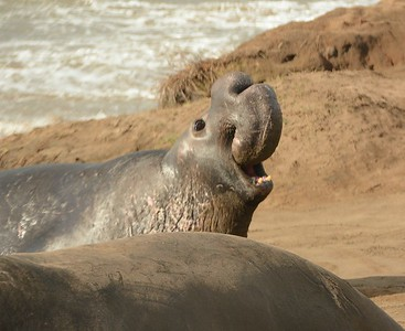 Northern Elephant Seal vocalizing during breeding season