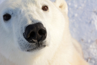 Young Polar Bear curious about our Tundra Buggy