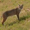 Bobcat on the Hillside
