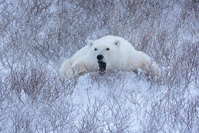 Yawning Polar Bear