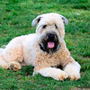 Bochy the Soft Coated Wheaten Terrrer