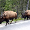 Bison Just Moving along on the highway