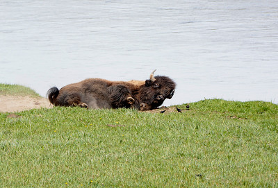 Bison rolling around scratching in his wallow while birds feed.