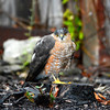 Young RedTail Hawk