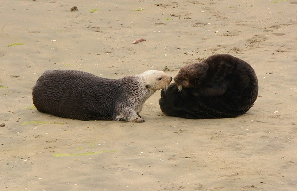 Rare Sea Otter Encounter on Land