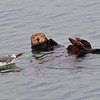 Sea Otter and his little tag-a-long friend