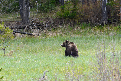 Grizzly Bear with Cub nearby
