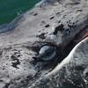 Young Gray Whale  Eye