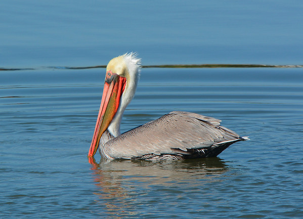 Brown Pelican in the Lagoon