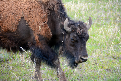 Molting Winter Coat on a young Bison