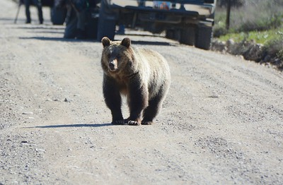 Recenly Weaned Grizzly