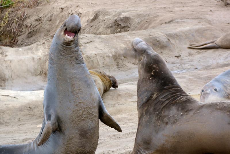 Adult Male Elephant Seals during breeding season