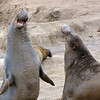 Adult Male Elephant Seals during breeding season