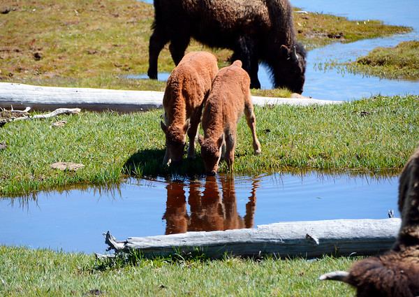 Two baby Bison at the watering hole.  Mom's are nearby.