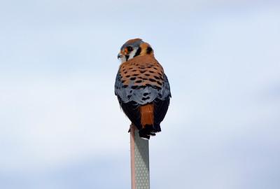A beautiful Kestral on a perch.