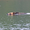 Swimming Grissly Bear
