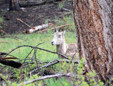 Two Longhorn Sheep