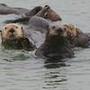 Too cute Sea Otters