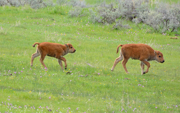 Cute young Bison Calves running down the hill.