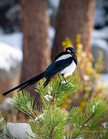 Black Billed Magpie #2
