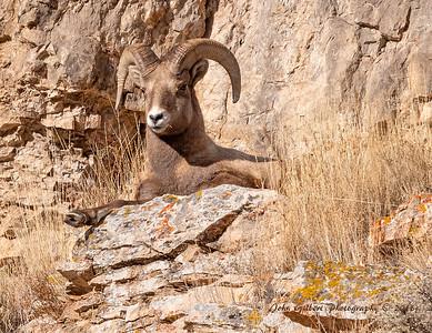Ram #13