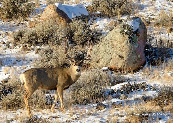 Mule Deer #3