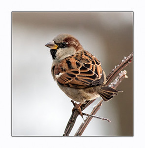 House Sparrow (Passer Domesticus) Male