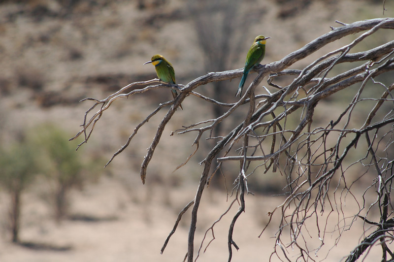 To make our day in the park even better, a pair of swallow-tailed bee eaters posed nicely for me for a long time (they normally don't stay still for long, because they fly off to catch bugs).<br /> <br /> Kgalagadi Transfrontier Park<br /> <br /> Northern Cape, South Africa<br /> <br /> DSC_1021.JPG