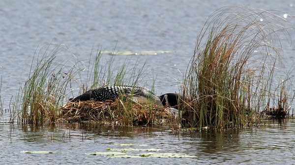 Mother loon was trying to keep a low profile on the nest when I took this photo.
